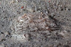 BD-140314-Padre-Burgos-2041-Uranoscopus-sulphureus.-Valenciennes.-1832-[Whitemargin-stargazer].jpg